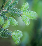 Fir branches close up. Fir needles on green background Royalty Free Stock Images