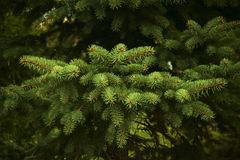 Fir branches. Closeup of a young fir branches Royalty Free Stock Photo