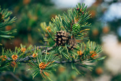 Fir branches with cones close-up Royalty Free Stock Photography