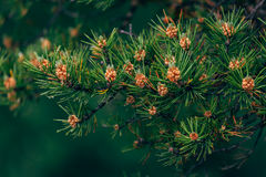 Fir branches with cones close-up Royalty Free Stock Images