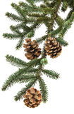 Fir branches with cones Royalty Free Stock Image