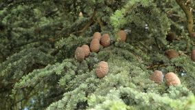 Fir branches with cones sway in the wind. Close up stock video