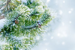 Fir branches with cones Stock Image