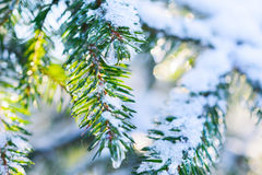 Fir branches covered with fresh snow,  frozen droplets of ice. Stock Photography