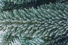 Fir branches covered with frost close up Royalty Free Stock Photography