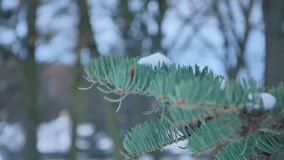 Fir branches covered with hoar frost shoot in RAW, slide movement.  stock footage