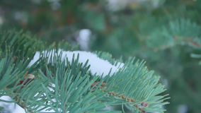 Fir branches covered with hoar frost shoot in RAW, slide movement.  stock video footage