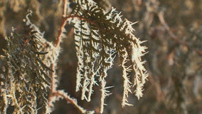 Fir branches covered with hoar frost. Sunny. stock video footage