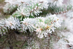 Fir branches covered with hoarfrost close-up Royalty Free Stock Images