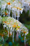 Fir branches covered with ice Royalty Free Stock Images
