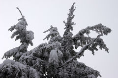 Fir branches covered with snow Stock Photography