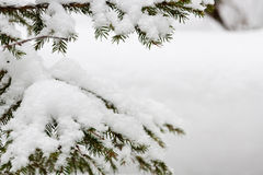 Fir branches covered with snow Royalty Free Stock Photos