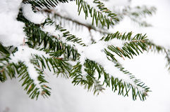 Fir branches covered with snow Royalty Free Stock Image
