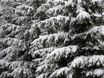 Fir branches covered with snow Stock Photos