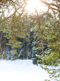 Fir branches covered with snow Stock Photo