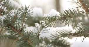 Fir branches covered with snow in the morning closeup with shallow focus. 4k photo royalty free stock photo
