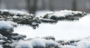 Fir branches covered with snow in the morning closeup with shallow focus. 4k photo royalty free stock image