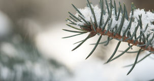 Fir branches covered with snow in the morning closeup with shallow focus. 4k photo stock photo