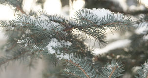 Fir branches covered with snow in the morning closeup with shallow focus. 4k photo stock image