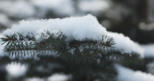 Fir branches covered with snow in the morning closeup with shallow focus. 4k photo stock photography