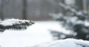 Fir branches covered with snow in the morning with snow falling on background Royalty Free Stock Images