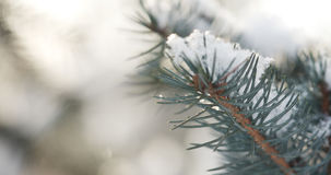 Fir branches covered with snow in the morning with snow falling on background Stock Image