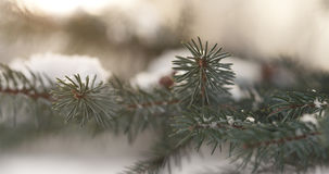 Fir branches covered with snow in the morning with snow and warm sunlight Stock Photos