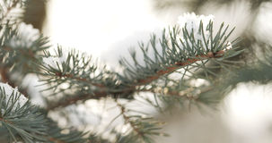 Fir branches covered with snow in the morning with snow and warm sunlight Royalty Free Stock Images