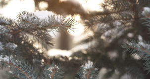 Fir branches covered with snow in the morning with snow and warm sunlight Stock Photography