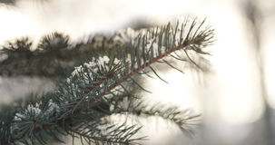 Fir branches covered with snow in the morning with snow and warm sunlight Stock Photo