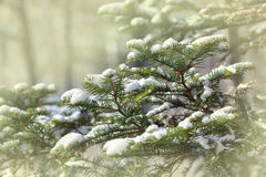 Fir branches covered with snow Royalty Free Stock Images