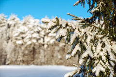 Fir branches covered with snow at winter forest Royalty Free Stock Images