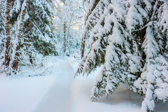 Fir branches densely covered with snow Stock Photos