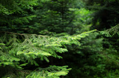 Fir branches. Stock Images