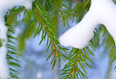Fir branches Stock Image