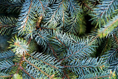 Fir branches Royalty Free Stock Photos