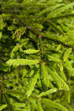 Fir branches and needles. Close-up of fir branches and needles Stock Images