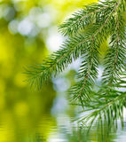 Fir branches over the water Royalty Free Stock Photo