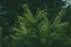 Fir branches. Photo of lush fir branches in the forest Royalty Free Stock Images