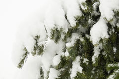 Fir branches Royalty Free Stock Image