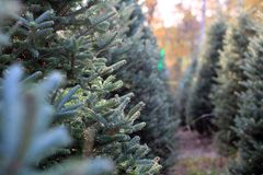Fir branches. In a plantation Stock Image