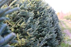 Fir branches Stock Photography
