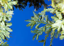 Fir Branches on a Sky Background Royalty Free Stock Photography