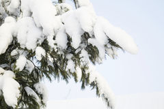 Fir branches, sky. Stock Images
