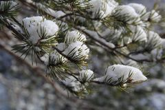 Fir branches. With snow on top like a cotton flower Royalty Free Stock Images