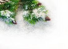 Fir branches in the snow on a white background.  Royalty Free Stock Photography