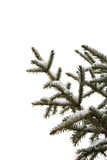 Fir branches with snow on white background Stock Image