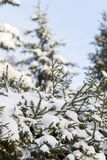 Fir branches with snowflakes on it in sunny day in the wood royalty free stock photo