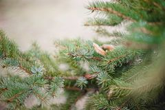 Fir branches. On the street Royalty Free Stock Photography