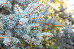 Fir branches and sun behind Stock Photo